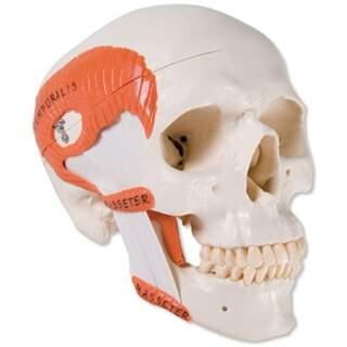Skull med tyggemuskler, to dele