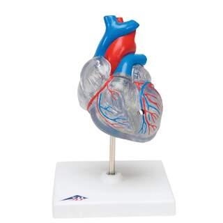Reduceret og gennemskinnelig hjertemodel med retinalsystemet