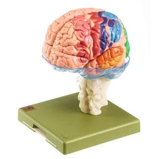 Hjernemodel i 15 dele med cytoararkitektoniske områder