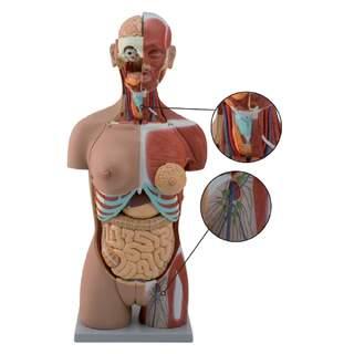 Komplet overkropp med 27 aftagelige dele (åben ryg, muskler, foster, udskiftelige kønsorganer)