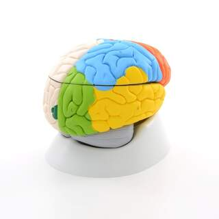 8-del hjerne model