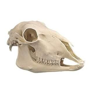 Får kraniet i plast (Ovis aries)