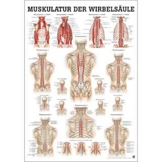 Tilbage muskler tysk / ren latin