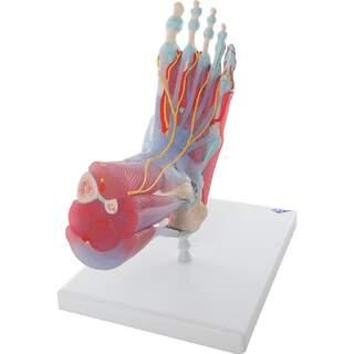 Fod med muskler, blodkar, nerver, ledbånd i seks dele