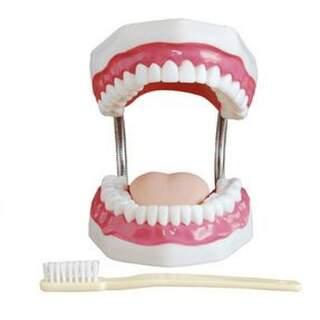 Anatomisk tandmodel