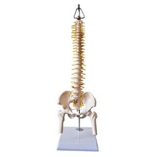 Mini-rygradsmodel med bækken, nerver og del af lårbenet