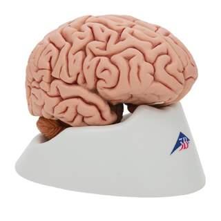 Klassisk hjerne real cast