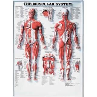Muscular System 3D - Anatomi plakat