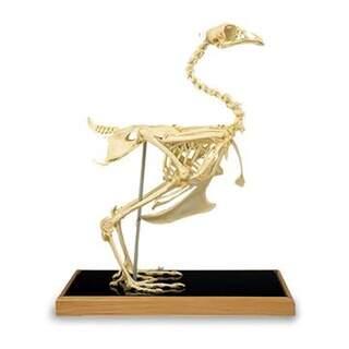 Kylling skelet (Gallus gallus)