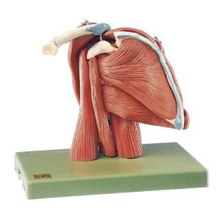 SOMSO Akselmodel - 10-delt akselmodel med muskler