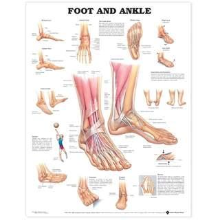 Anatomi plakat - Fod / ankel