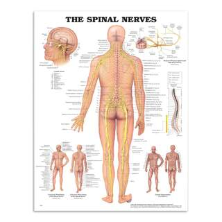 Anatomi plakat - Spinal nerver