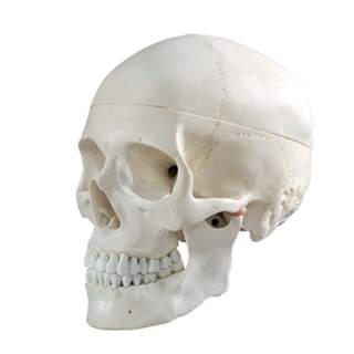 Basis kraniemodel