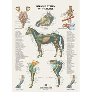 Hestens nervesystemplakat 60x80 cm