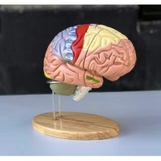 Stor pædagogisk hjernemodel med farver, navne og i 5 dele på stativet