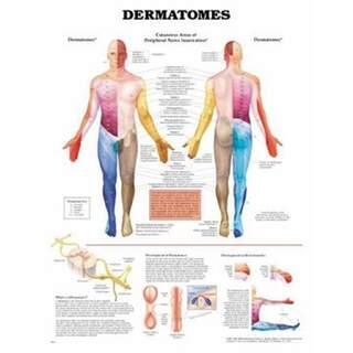 Plakat af dermatomer på engelsk