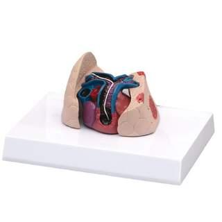 Kat hjerte og lunge model med hjerteorm