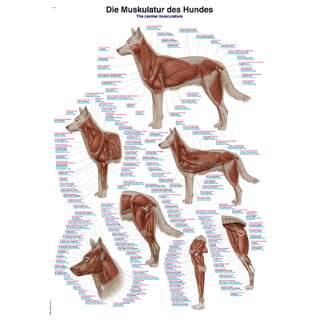 Hundens muskler 70x100 cm Plakat - ren latin, engelsk og tysk nomenklatur