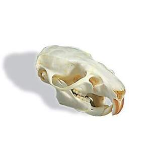 Rotte kraniet (Rattus rattus)