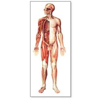 Stort nervesystem plakat med trælister