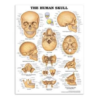 Kraniet lamineret plakat (The Human Skull)