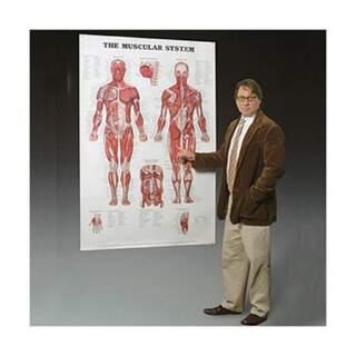 Muskelsystem lamineret plakat