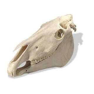 Hestekran (Equus Caballus)