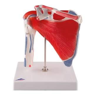 Fleksibel skuldermodel med muskulatur og ledbånd - kan adskilles i 5 dele