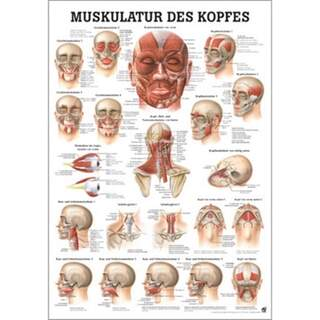 Leder muskulatur tysk / ren latin