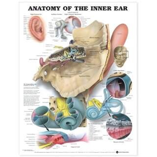 Det indre øre, engelsk lamineret (indre øre anatomi)