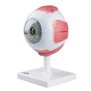 Øjenmodel i 5x naturlig størrelse i seks dele