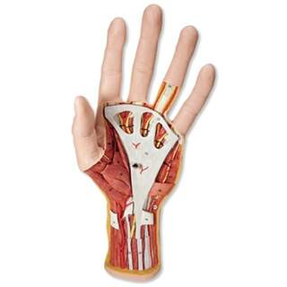 Avanceret håndmodel med to aftagelige dele