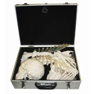 Skeletbensamling
