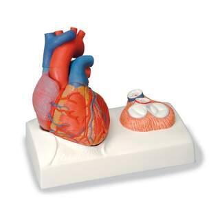 Hjertemodel med fokus på klapperne og kastet til et ægte hjerte