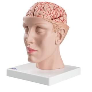 8-delt hjerne med arterier i split hoved