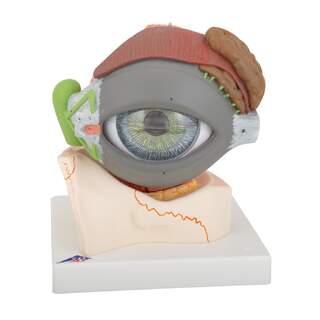 Anatomisk model af øje i 5x naturlig størrelse i otte dele