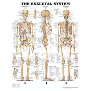 Anatomi plakat - Skelet