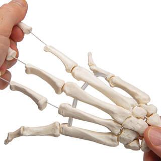 Model af håndskelettet samlet på elastiske og begge underarme