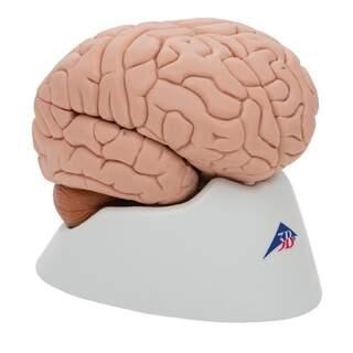 Hjernemodel med et mindre naturligt look. Kan opdeles i 8 dele