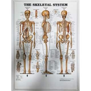 Skelet System 3D - Anatomi plakat