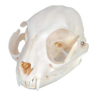 Cat Skull (Felis Catus)