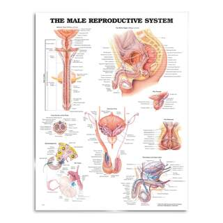 Mandlige reproduktive system plakat