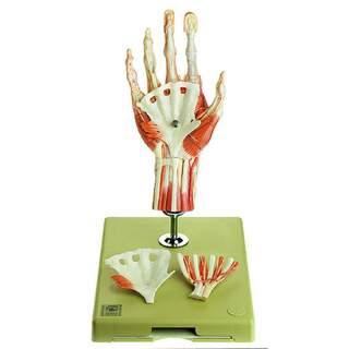 Håndmuskelmodel med en del af underarmen, stående