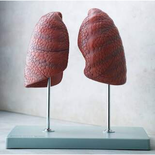 Højre og venstre lunge, uafhængig