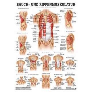 Abdominal og ribben muskler Plakat