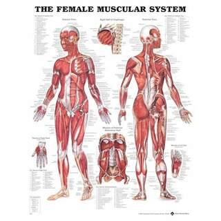 Kvinde Muskel - Anatomi Plakat 51x66 cm