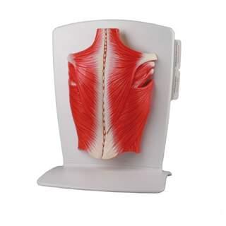 Model af rygmusklerne i 4 dele