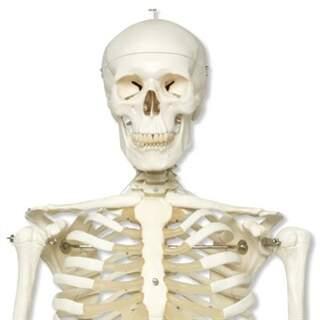 Skelet, naturlig størrelse fra 3B Scientific