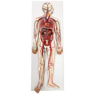 Model af det kardiovaskulære system