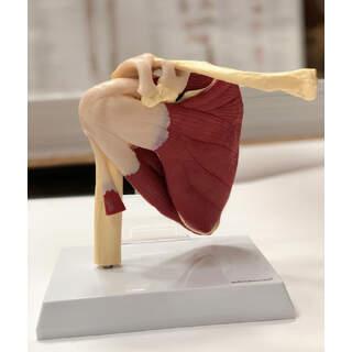 Skuldermodel med muskler og ledbånd